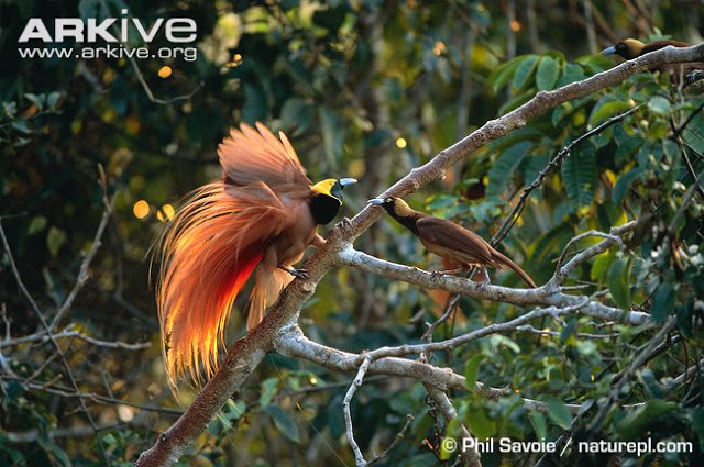 Foto: ARKive of the Raggiana bird of paradise (Paradisaea raggiana)